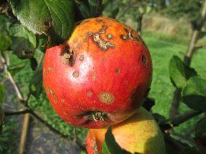 斑点のあるりんご
