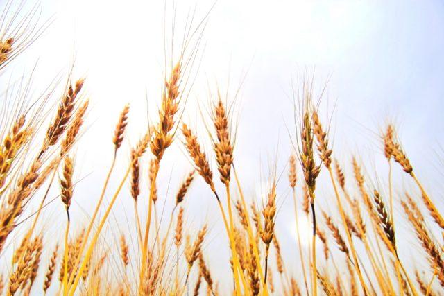 3分でわかる技術の超キホン 糖質制限の救世主?小麦ふすま(小麦ブラン)とは