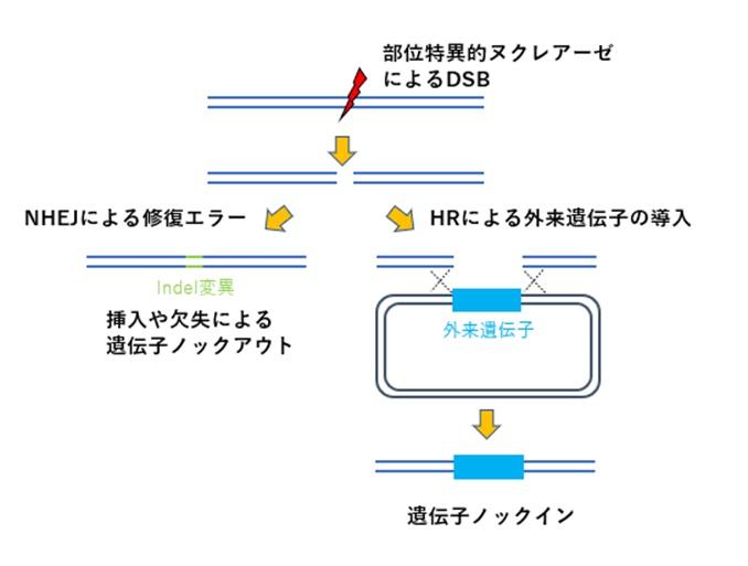 遺伝子のノックアウトノックイン