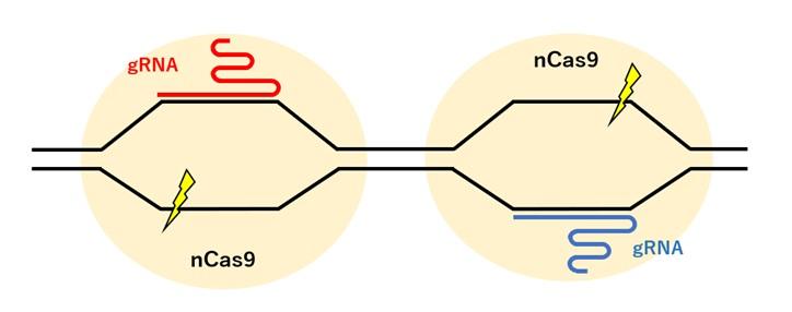 nCasを用いたゲノム編集