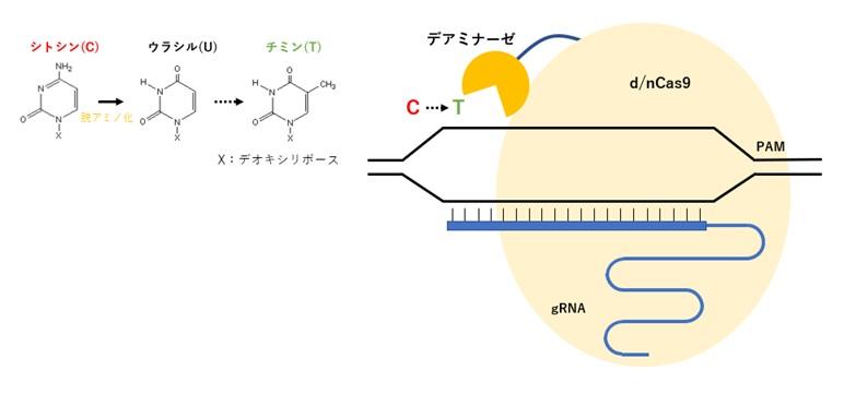 デアミナーゼを利用した点変異ゲノム編集技術