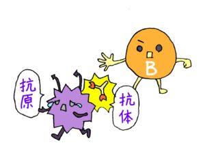 インターロイキン-6の解説(B細胞)