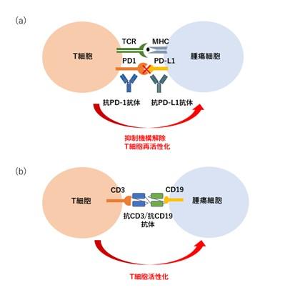 がん細胞を標的とした抗体医薬品