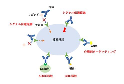 抗体医薬品の作用機序