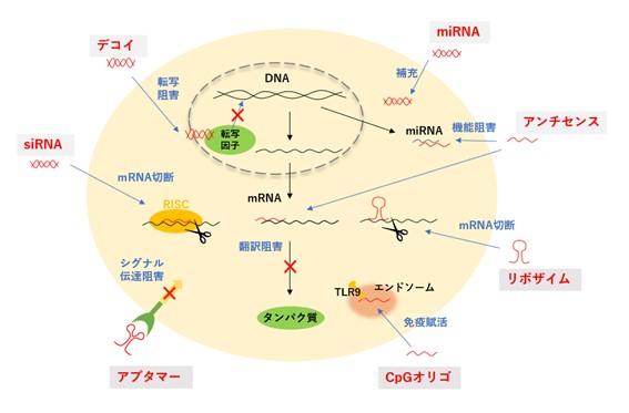 核酸医薬品の作用機序